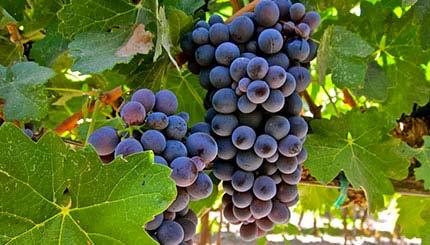 Vino. Il Nizza docg aspetta la vendemmia delle uve barbera (tra metà e fine settembre) e intanto si associano altre nove nuove cantine
